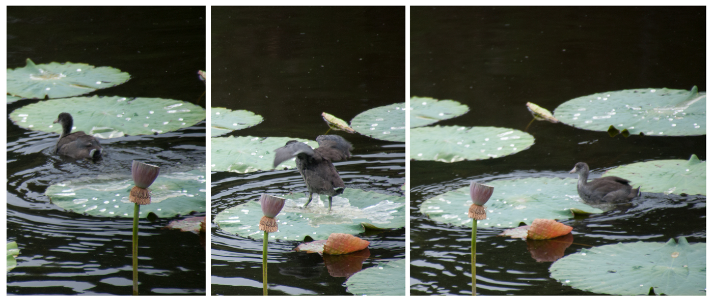 bird walking upon lily pad