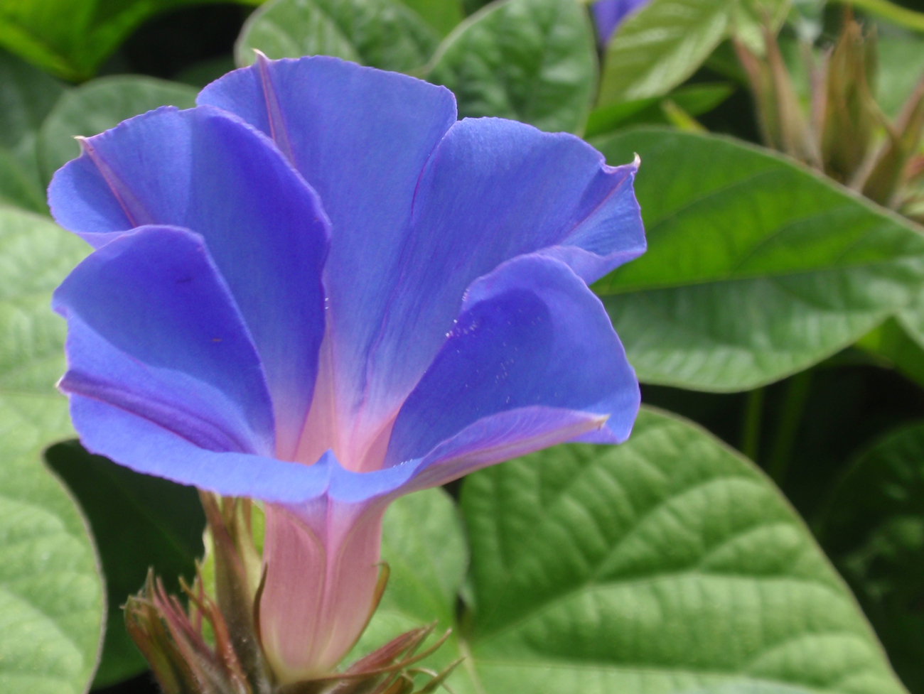 periwinkle morning glory
