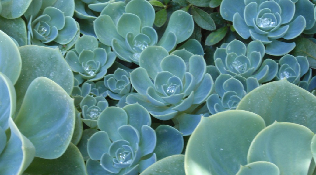 succulents with dew in center