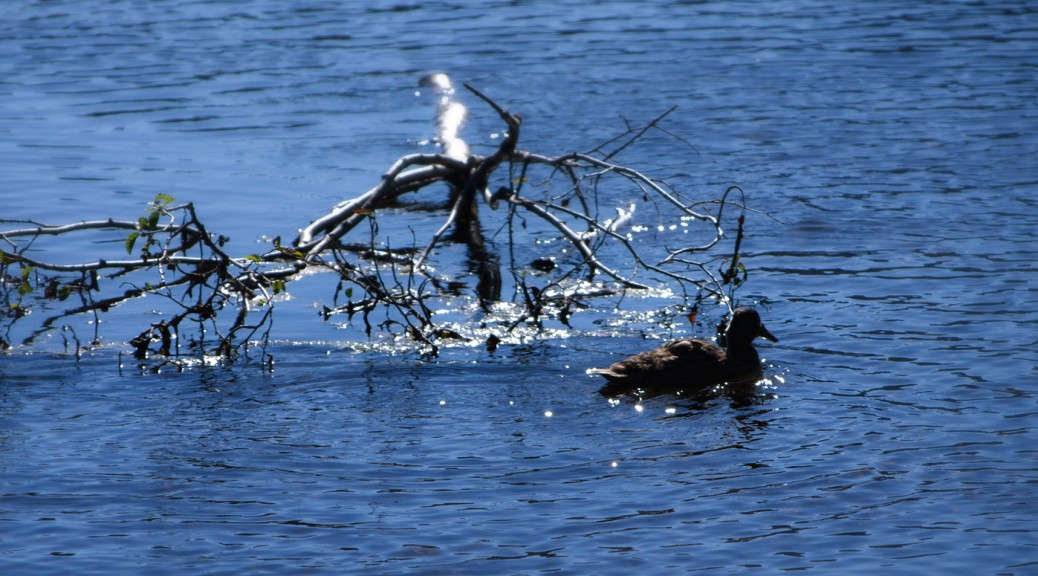 duck in lake, glittering water