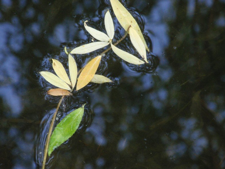 leaves floating on water