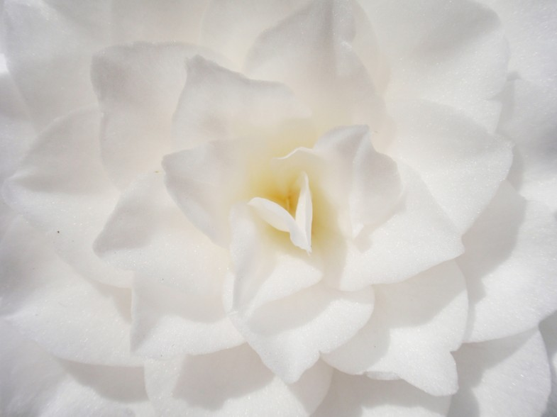 white camellia with heart in center