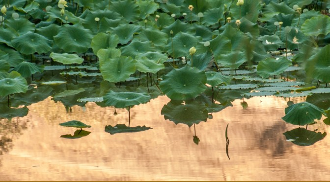 golden pond lotus