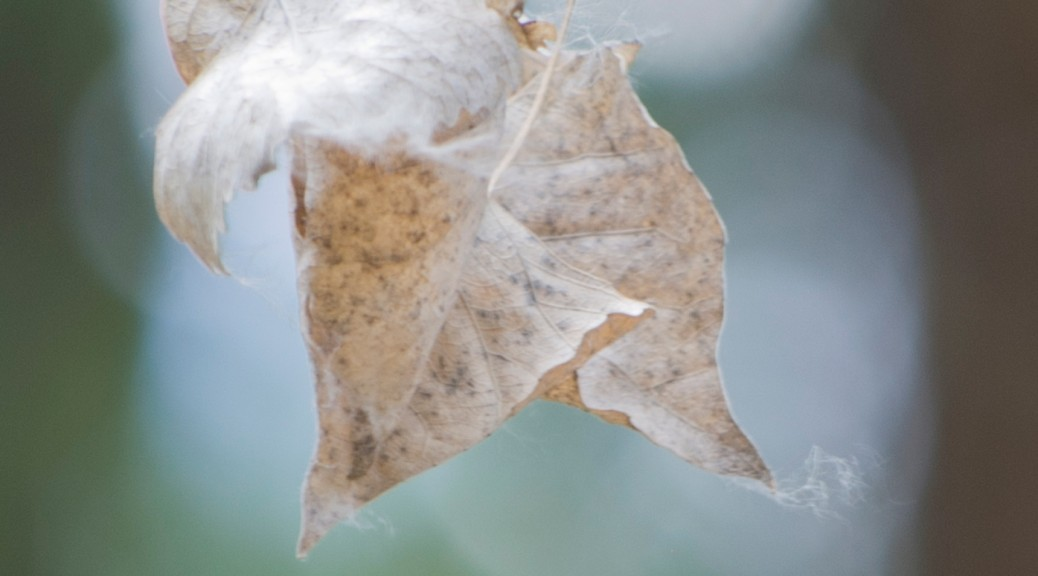 dried leaves with fuzz