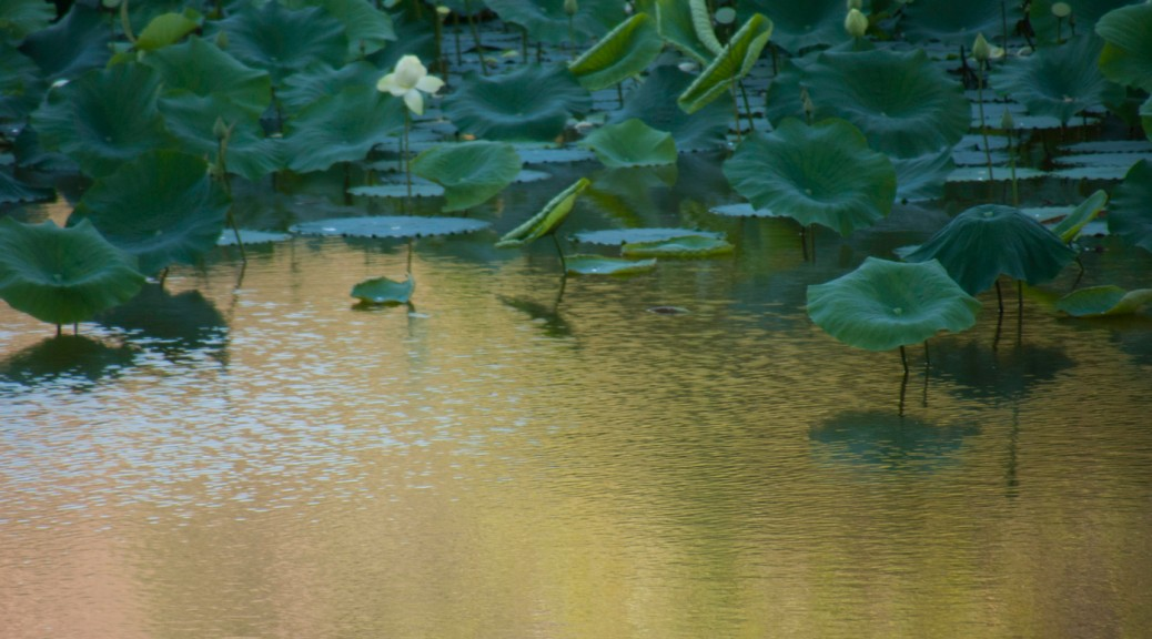 golden pond and lily pads